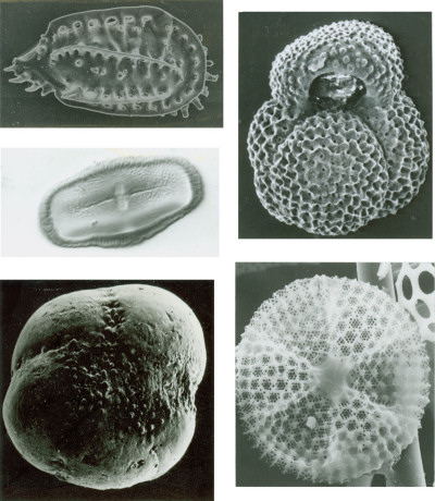 Some Typical Microfossils: Clockwise from top left: ostracode, planktic foraminifer, diatom, benthic foraminifer, and pollen grain.